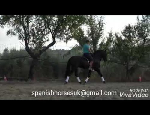 Stunning black baroque Spanish stallion for sale