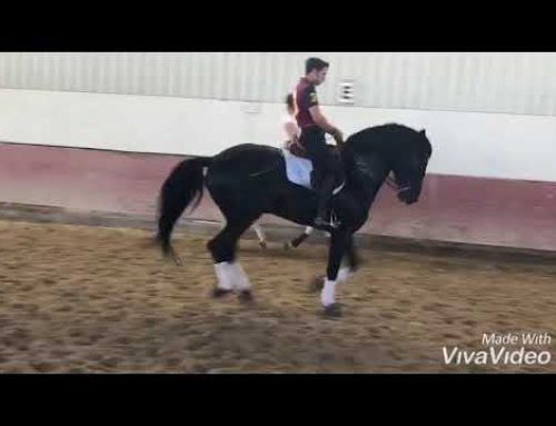 PRE advanced stallion for sale