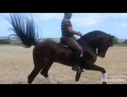 Lovely expressive PSG stallion for sale