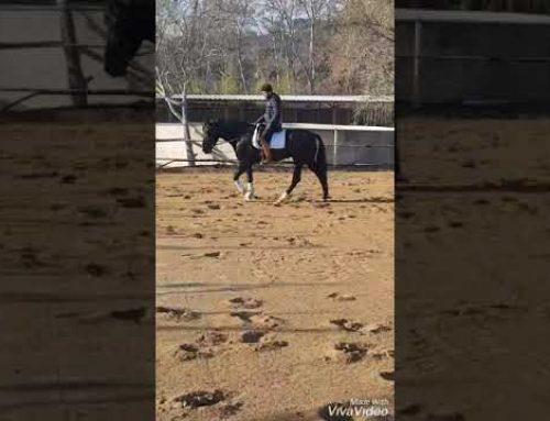 Yequada Militar 4 yr old black stallion for sale