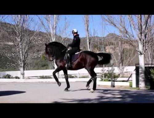 Stunning prix san jorge stallion for sale!