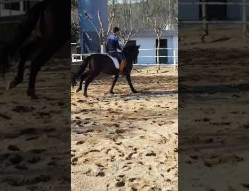 Videoed the 5th time.ridden this lovely 4 yr old pre stallion is branded centurion….