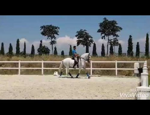 11 yr old prix San Jorge lusitano for sale