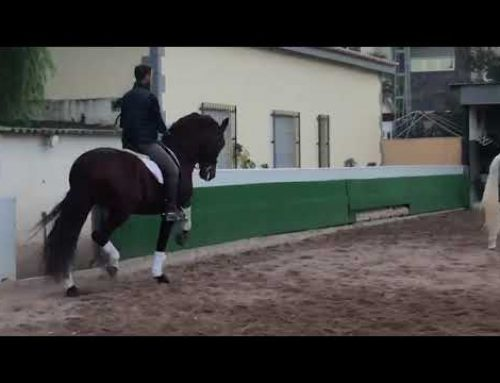 Stunning pre chestnut stallion trained in advanced