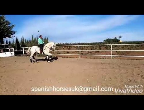 Sweet natured pre stallion working advanced