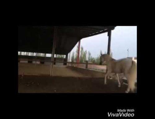 2009 pure bred cartujano stallion for sale