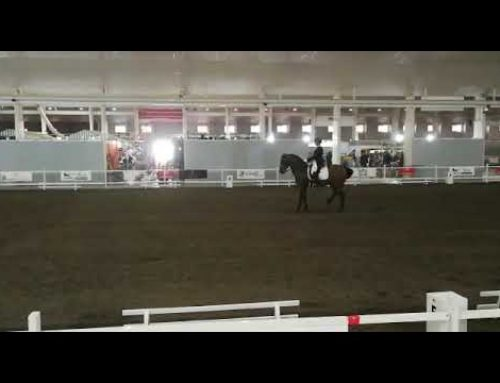 13 yr old psg Spanish gelding who is a lovely schoolmater and has competition experience for sale