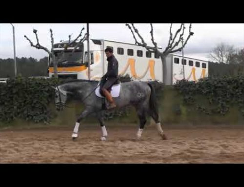 Lovely 5 yr old PRE stallion standing 170cm for sale