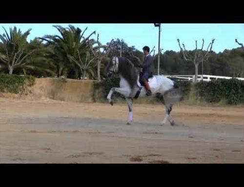 Stunning Spanish stallion morphological beauty