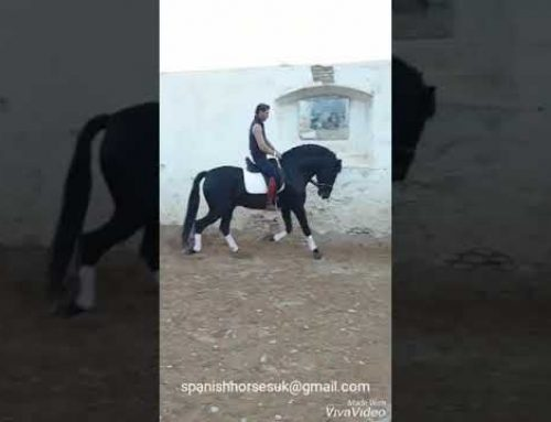 5 yr old black BAROQUE PRE stallion for sale.
