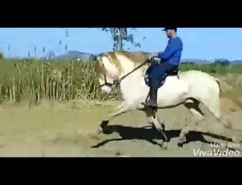 Isabelo high school stallion for sale