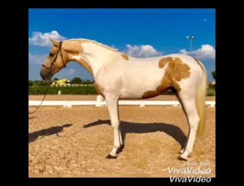 Unique opportunity to purchase two coloured Spanish colts
