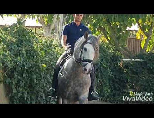 Grey PRE 8yr old stallion for sale