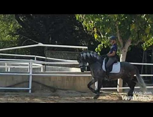 New baroque 6 yr old pre stallion for sale.