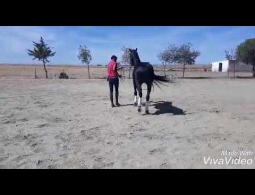 Flashy black 9 yr old high school trained PRE stallion