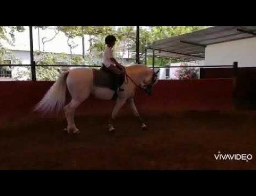 Super noble trained Spanish stallion…