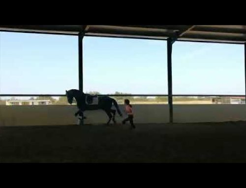 5 yr old exceptional PRE stallion