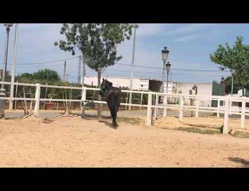 Amazing black PRE colt