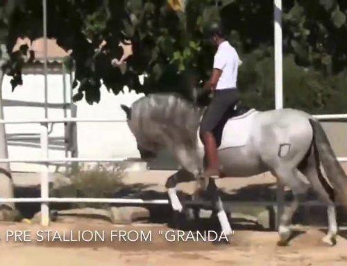 2016 PRE stallion.