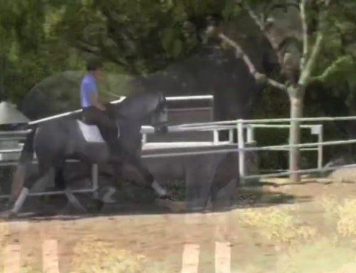 2016 horse, standing 163cm.