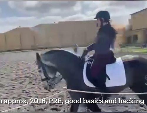 PRE, 2016, quality stallion