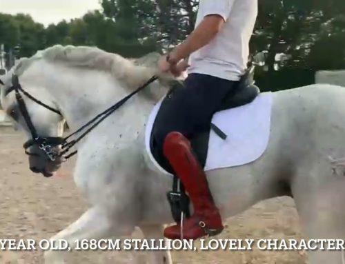 10 year old stallion