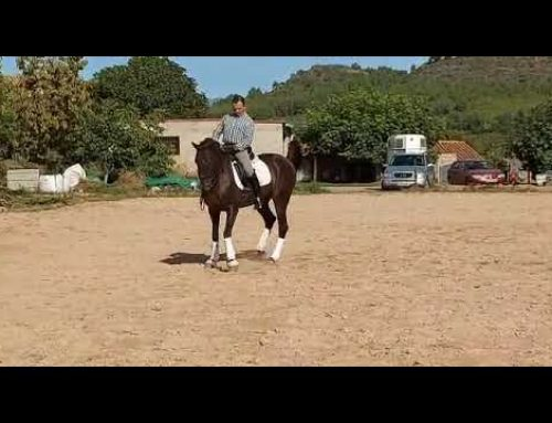 Really lovely 11 year old gelding
